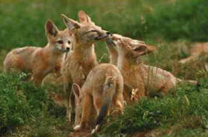 Conservation of San Joaquin Kit Fox (Vulpes macrotis mutica)