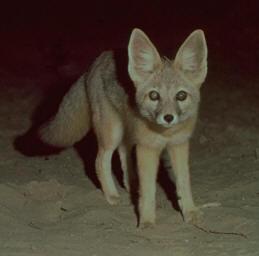 kit_fox-2