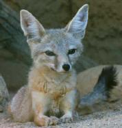 kit_fox