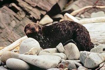 otter_in_oil_spill