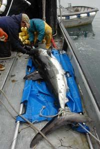 salmon_shark-on-boat