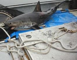 salmon_shark2