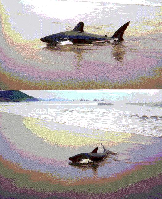 salmon_shark4