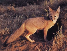 san_joachin_kit-fox_den