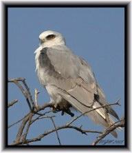 White Tailed Kite (Elanus leucurus)