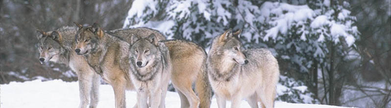 adult wolf pack in snowy forest