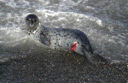 wounded_harbor_seal