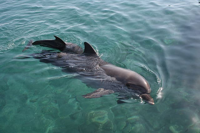 Dolphin in clear blue water