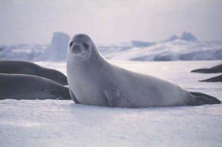 Seal on icy terrain