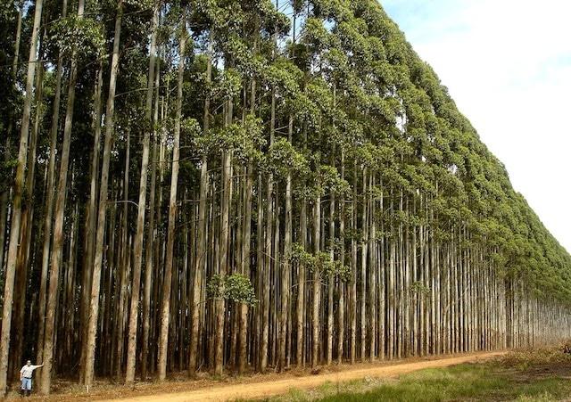 1430037877eucalyptus-brazil-transgenic-gmo
