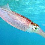 Caribbean_reef_squid