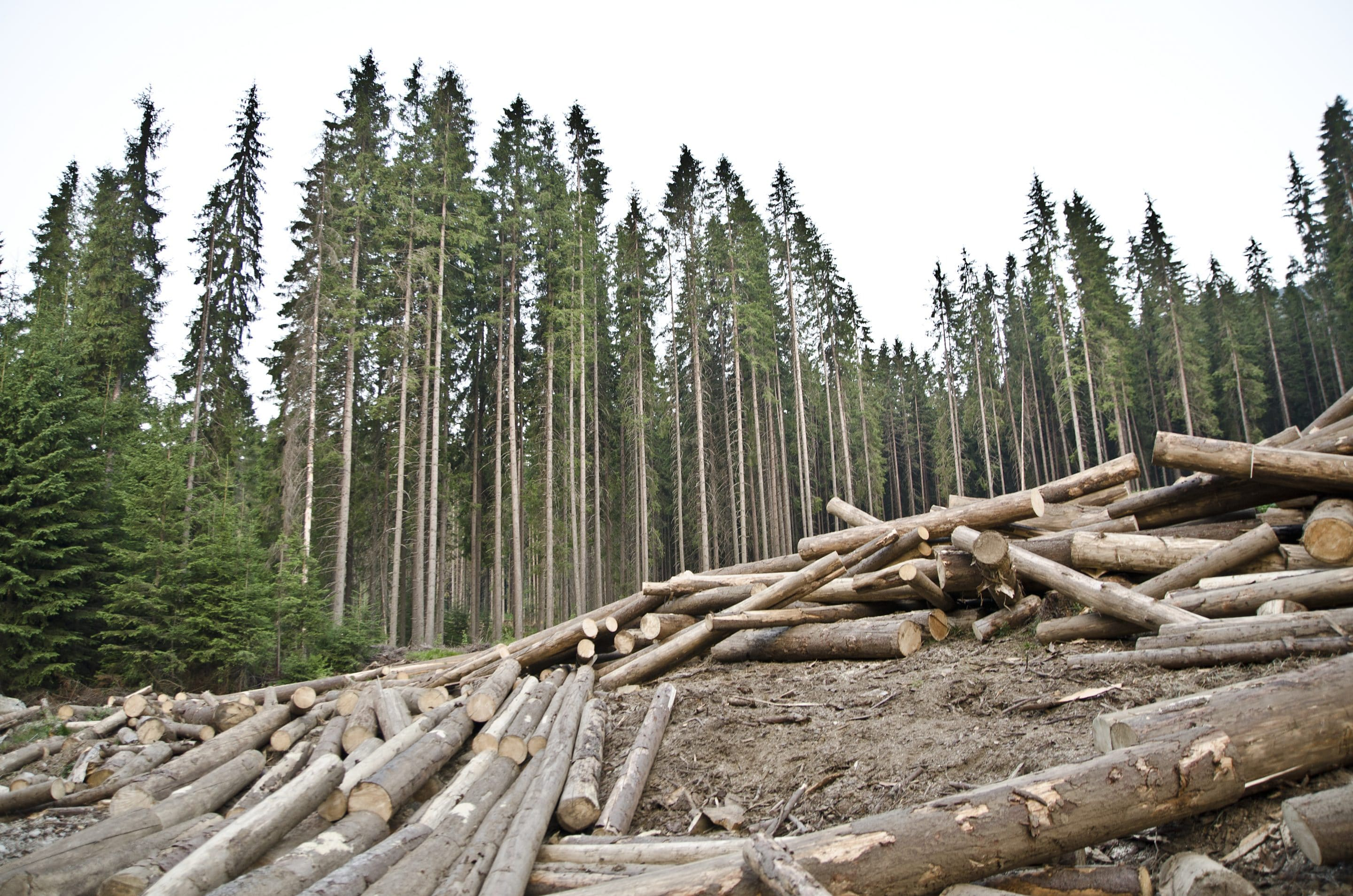 Illegal logging in Parang Mountains, Romania