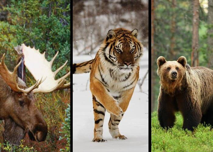 animals in coniferous forest