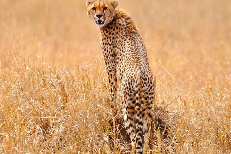 Cheetah Facts About Cheetahs What Do Cheetahs Eat Where