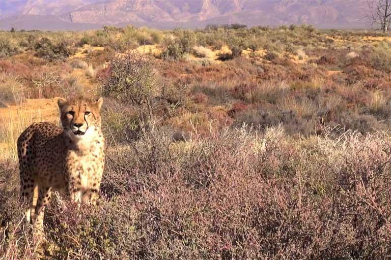 Cheetah Facts - About Cheetahs - What Do Cheetahs Eat? Where