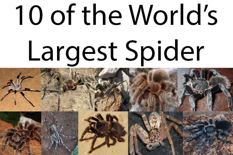 What is the largest spider in the world guinness world records