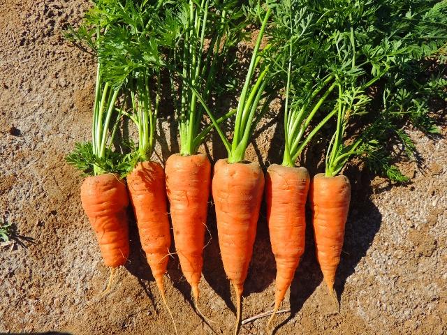 Chantenay-carrots-img554